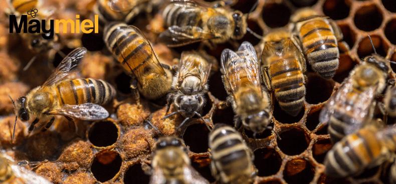 comment-abeilles-se-reproduisent