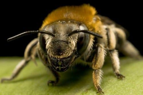 Espèces d'abeilles