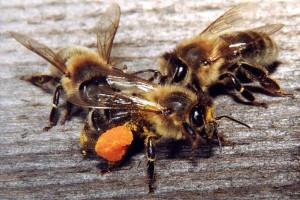 Honey bees disappearing - bee extermination (1)