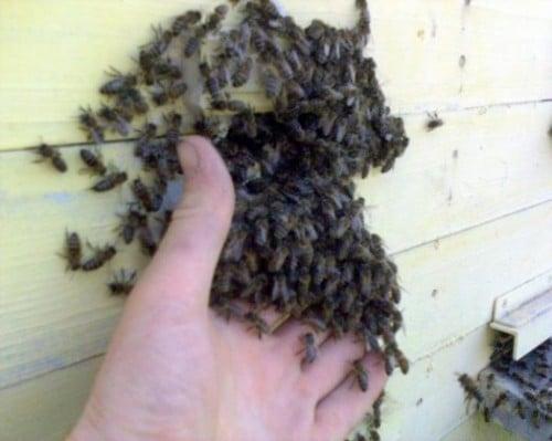 Comment acheter des abeilles