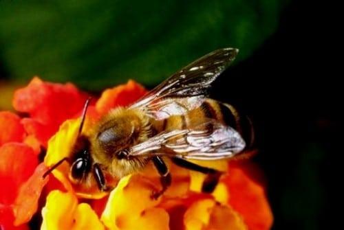 Comment fonctionne l'abeille - bases de l'apiculture