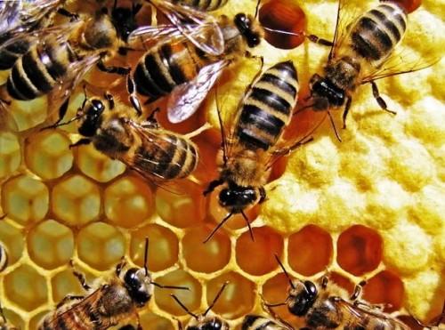 Bees honey making - how does bees make honey (1)