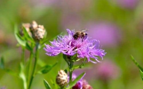 Des fleurs pour attirer les abeilles