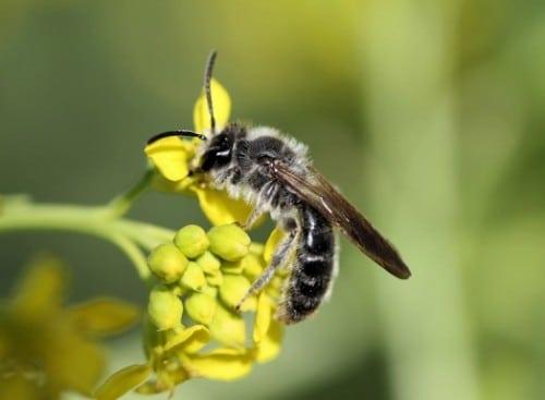 Différents types d'abeilles
