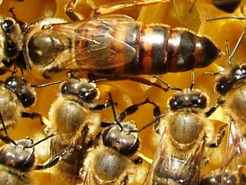 Honey bee queens - queen breeding (2)