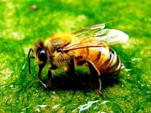 Remèdes d'abeille d'abeille