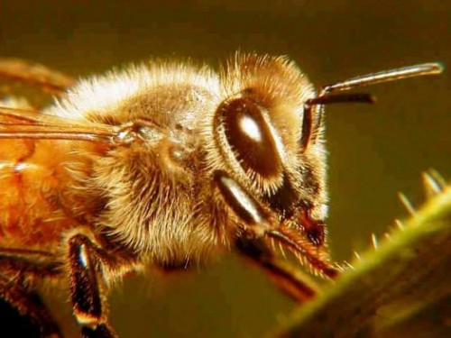 Système digestif d'une abeille
